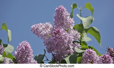 Bush of a lilac waves on a wind