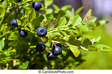Bush of a ripe bilberry in the summer closeup