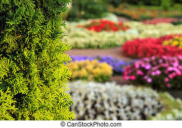 Bush of arborvitae leaves in the blurred background of colorful beds of blooming flowers. Decorative thuja tree in the summer garden. Selective focus botanical photography.