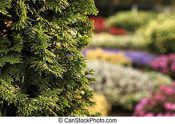 Bush of arborvitae leaves in the blurred background of colorful beds of flowers. Decorative thuja tree in the garden. Selective focus floral photography