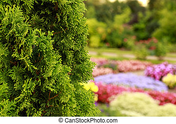 Bush of arborvitae leaves in the blurred background of colorful beds of flowers. Decorative thuja tree in the garden. Selective focus floral photography.