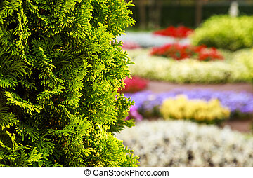 Bush of arborvitae leaves in the blurred background of colorful beds of flowers. Decorative thuja tree in the garden. Shallow depth of field.