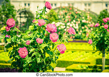 Bush of beautiful pink roses in a garden