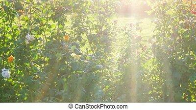 Bush of beautiful roses in a garden selective focus, backlit shot