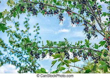 bush of black currants in the garden on summer closeup