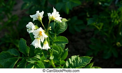 Bush of blossoming potato in sunlight. Natural garden background.
