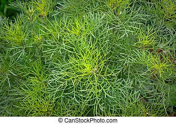 Bush of chamomile officinalis leaves without flowers in the forest on a sunny day.