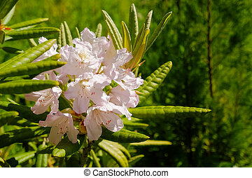 Bush of delicate pink magenta flowers of azalea or Rhododendron plant in a sunny spring Japanese garden, beautiful floral background or tropical style texture