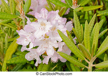 Bush of delicate pink magenta flowers of azalea or Rhododendron plant in a sunny spring Japanese garden, beautiful outdoor floral background