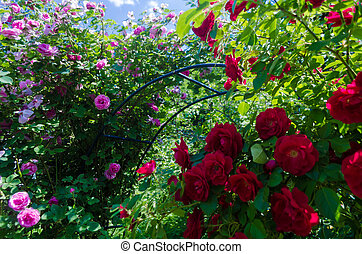 Bush of fluffy pink and red roses in sunny day. Romantic florets on green leaves background in garden. Close up of bushes with full blooms on shrubs branch. Magenta flowers for decorating any holiday