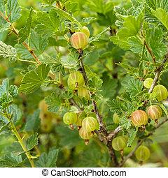 A bush of gooseberry in the garden