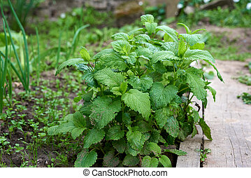 bush of growing mint with green leaves in the garden, fragrant grass, spring crop