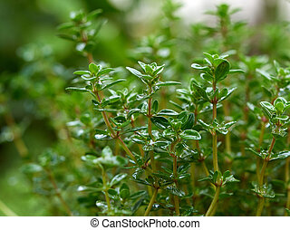 bush of growing thyme with green leaves in the garden