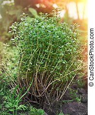 bush of growing thyme with green leaves in the garden in the sunshine