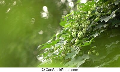 hops in the garden, - bush of hops in the garden,video...