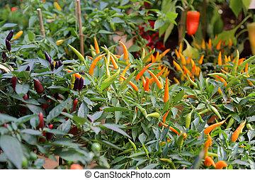 Bush of hot pepper