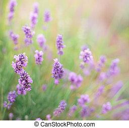 Bush of lavender.