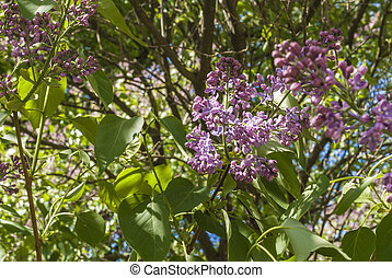 Bush of lilac on a blurry background