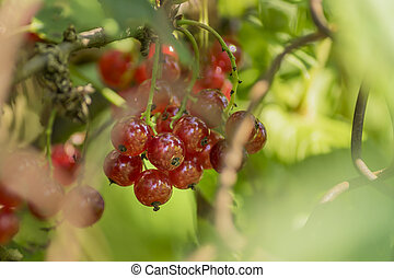 bush of red currant in a garden.