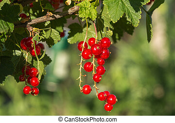 bush of red currant in a garden