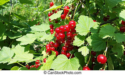 bush of red currant with bright red berries in the garden