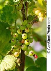 Bush of red currant with green leaves in the garden