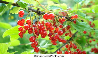 Bush of red currant with ripe berries in sunlight. Natural garden background.
