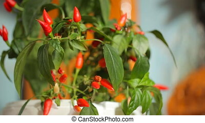 Bush of red pepper in green leaves
