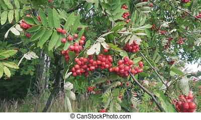 Bush of red ripe mountain ash in the wind. Full frame...