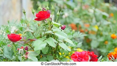 bush of red roses and green leaf