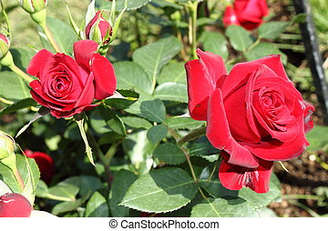 Bush of red roses - Bush of beautiful red roses
