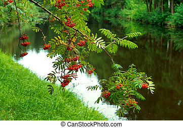 Bush of ripe Rowan in the fall