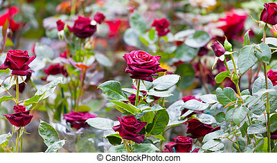 Bush of the blossoming red roses in a garden