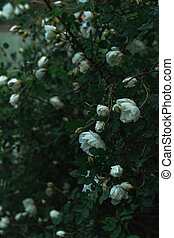 Bush of white wild roses, closeup view. Floral background