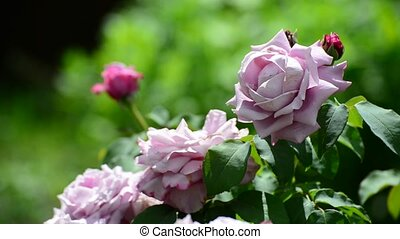 bush pink roses in the flowerbed