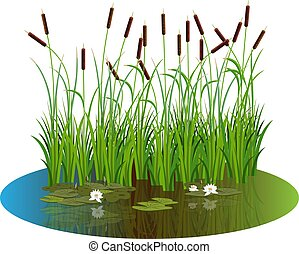 Bush reeds with water lily flowers and leaves on the pond water. Reeds stern and white water lily reflected in the lake water.