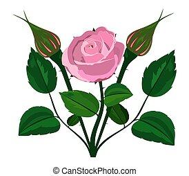 bush rose on a white background