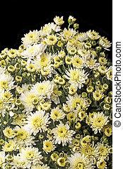 Bush small white chrysanthemums