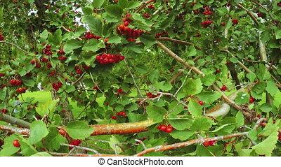 Bush viburnum - Camera pans on steadicam on viburnum bush