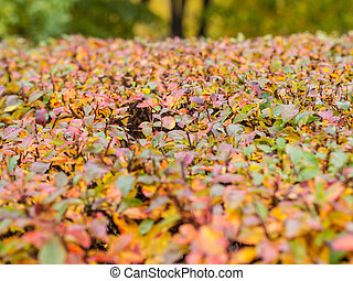 colorful leaves in an autumn park