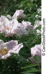 Bush with flowers pink peonies close-up with green leaves,...