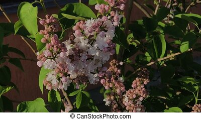 Bush with lilac flowers in summer. - Bush with lilac flowers...