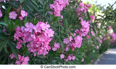 Bush with pink flowers in bloom on Cyprus