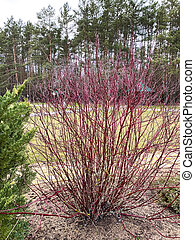 Bush with red branches without leaves