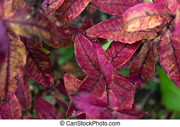 Bush with red-pink leaves in autumn
