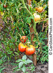 bush with ripe tomatoes in garden after rain