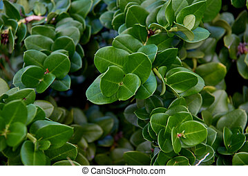 Bush with small dark green leaves of a tropical plant close-up.