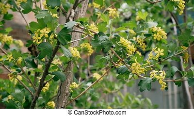 Bush with small yellow flowers in springtime footage