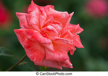 Bush with the blossoming pink rose