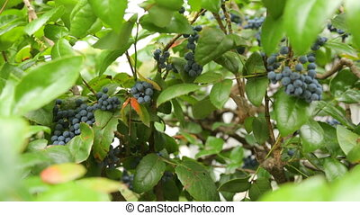 Bush with violet fruits